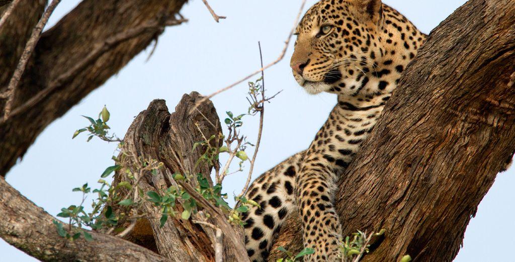 Der Leopard, eines der am schwierigsten zu sehenden Wildtiere