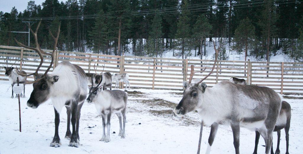 Tendrá la oportunidad de visitar una granja de renos