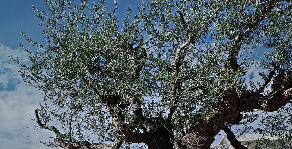 ... rodeado de olivos