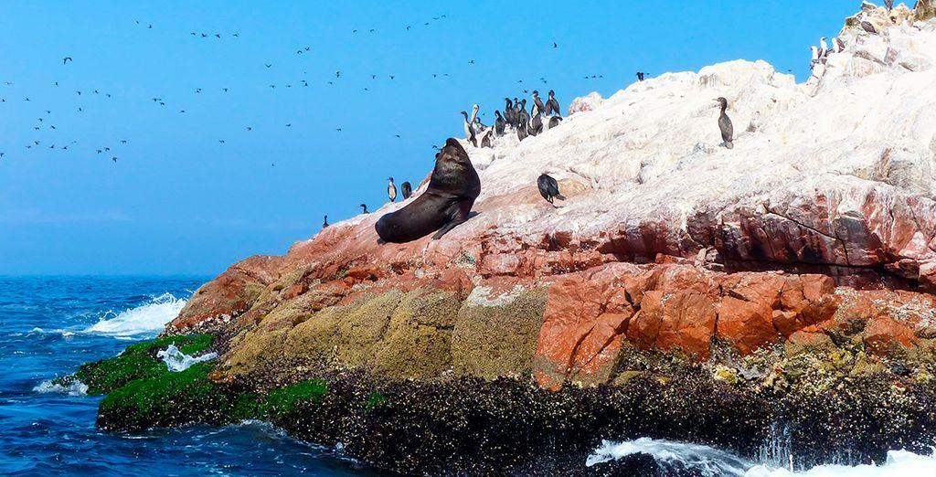 Las islas Ballestas, habitadas por pájaros bobos, pelícanos, lobos marinos y pingüinos de Humboldt
