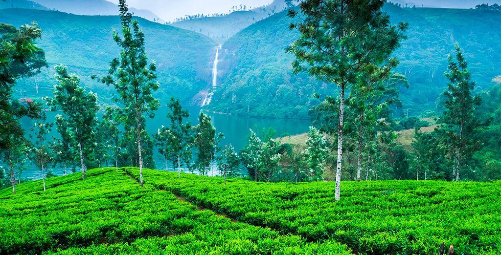 Viajes a Sri Lanka - Plantación de té