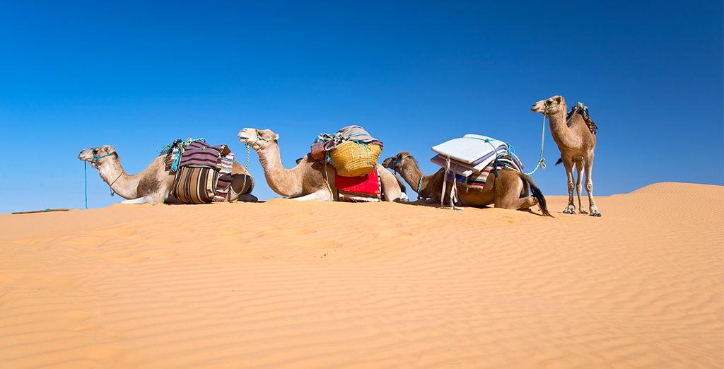 Balade à dos de Dromadaire dans le désert du Sahara
