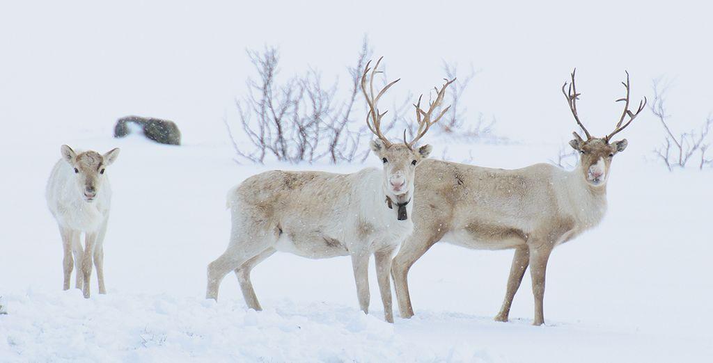Dans le blanc immaculé de l'hiver - Aurores Boréales en Laponie Norvégienne - 4 jours / 3 nuits Tromso