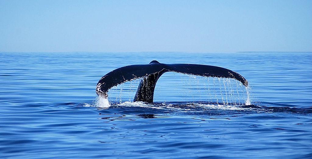 A Malbaie, vous aurez la chance de partir observer les baleines si majestueuses