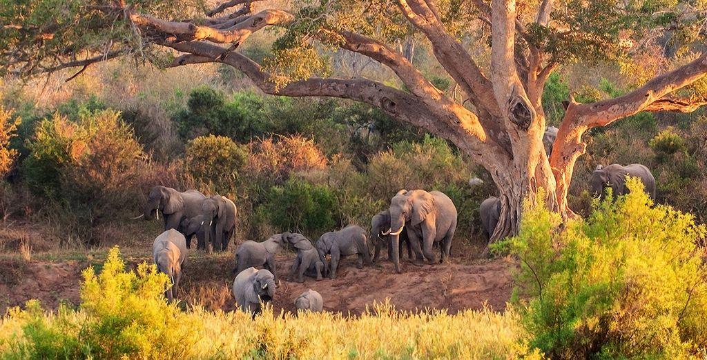 Safari en Afrique du Sud, observation des éléphants dans leur espace naturel