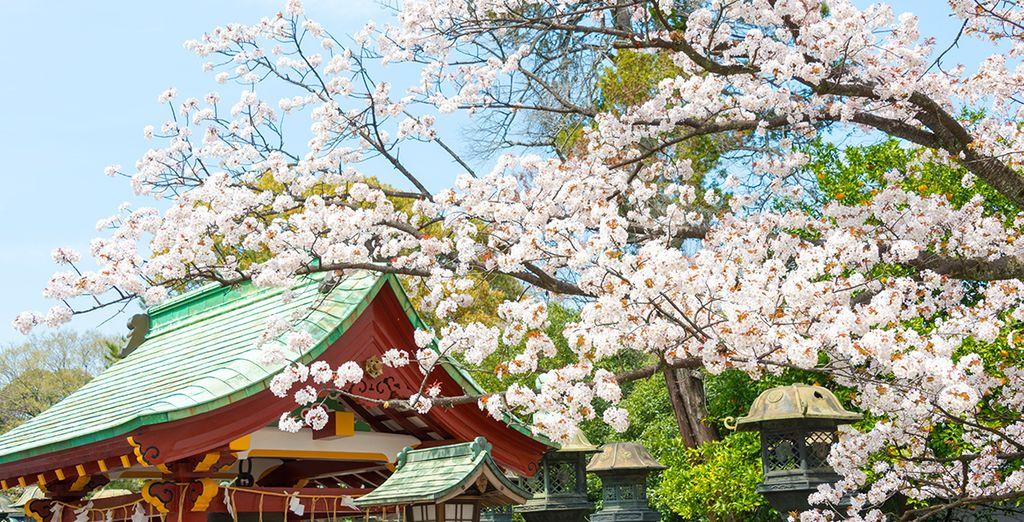 Cerisiers en fleurs au parc Yoyogi à Tokyo