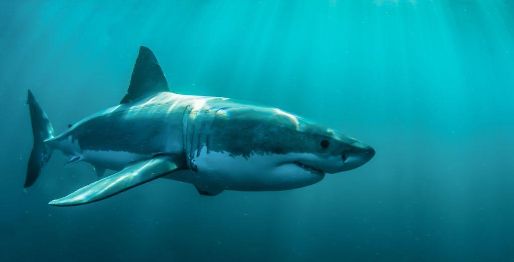 Pour observer les grands requins blancs à Gansbaai...