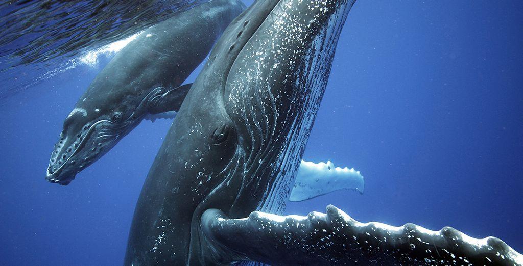 Commencez votre dépaysement par l'observation des baleines