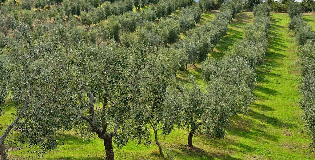 Un domaine d'oliviers...