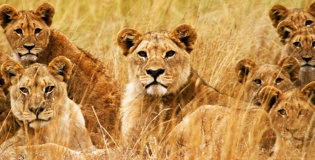 Approchez-vous des lions dans les zoo de  l'Île Maurice