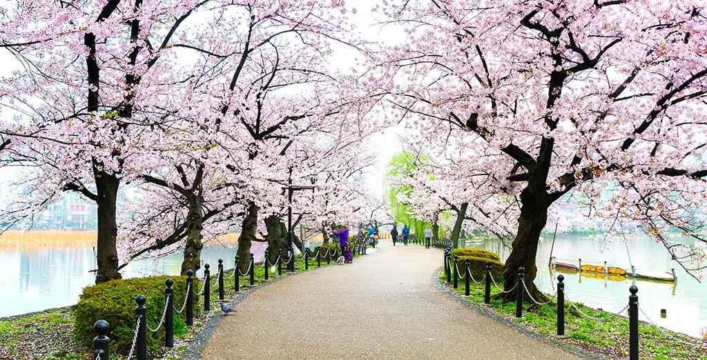 Photographie des cerisiers en fleurs au Japon
