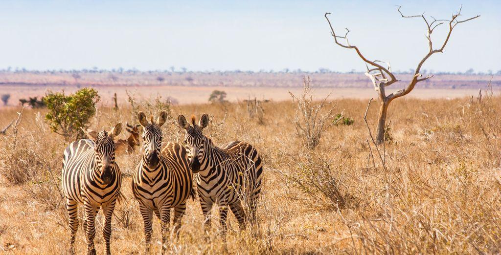 Rencontre avec les animaux du Kenya, zèbres
