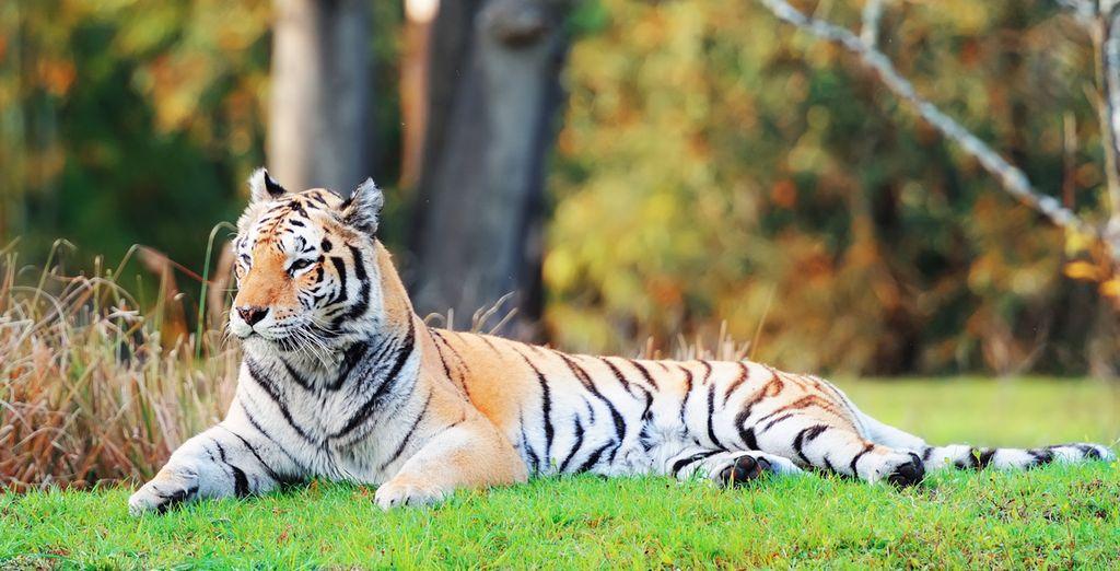 Photographie des tigres du parc de SeaWorld