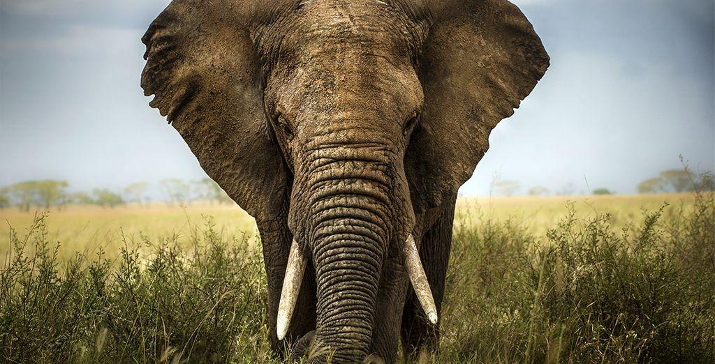 Provate l'emozione di un safari nella savana, grazie al quale potrete incontratre gli elefanti africani