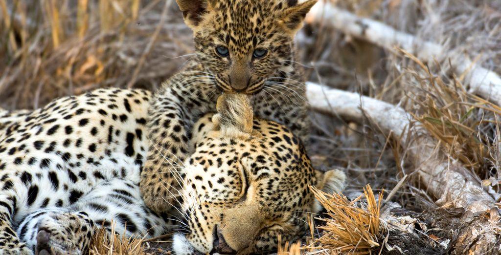 e gli scattanti leopardi