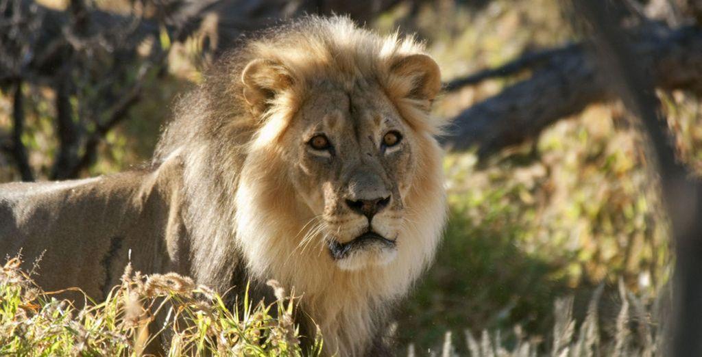 Meet the proud lion